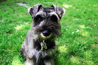 Turtle the Miniature Schnauzer | by Frankie is Swell