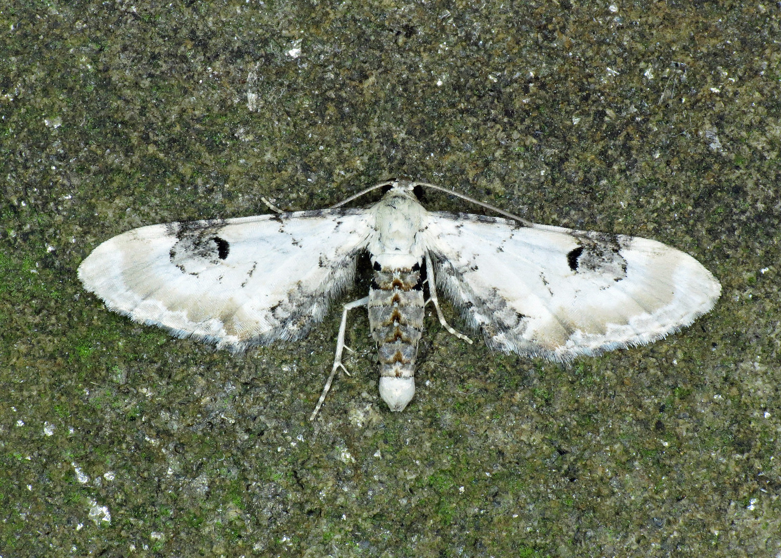1825 Lime-speck Pug - Eupithecia centaureata
