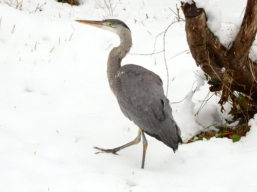 february 3 2017 16:09 - Great Blue Heron walking in the snow | by boonibarb