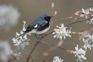 Black-throated Blue Warbler | by Birding In New Jersey