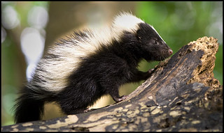 baby-skunk-14225   by julierohloff
