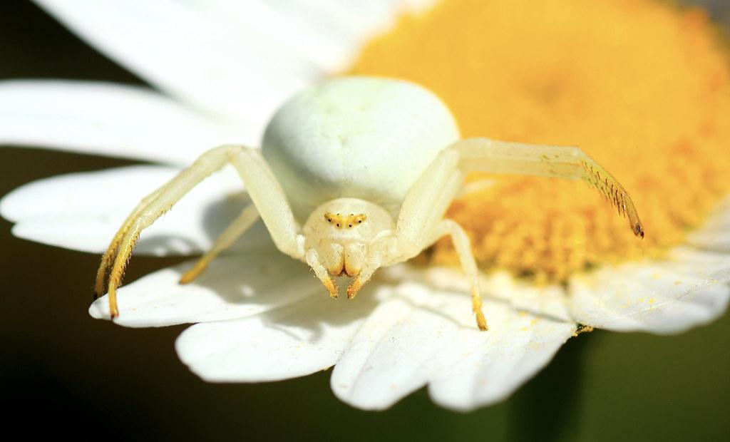 Crab Spider - Flower Spider