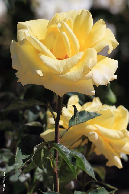 009570 - Rosa
