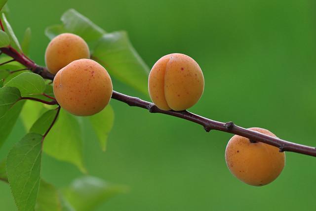 Apricot, les Abricots