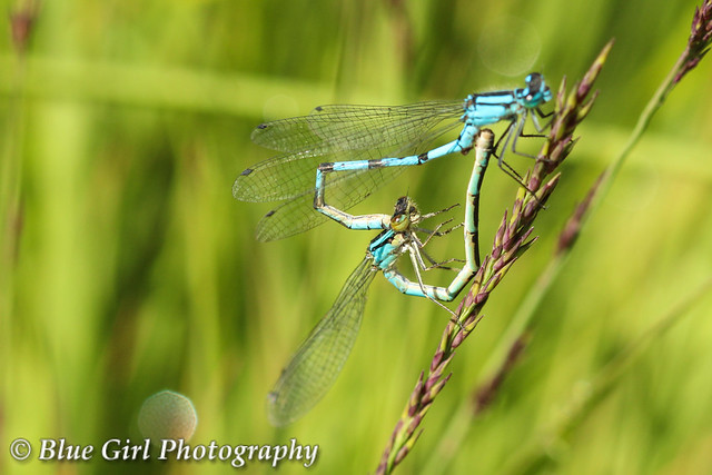 Common Blue Damseflies