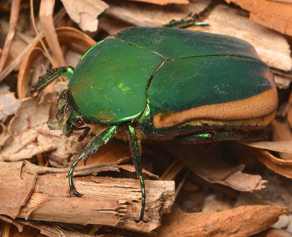 Female Figeater beetle | Female Figeater beetle (Cotinis ...