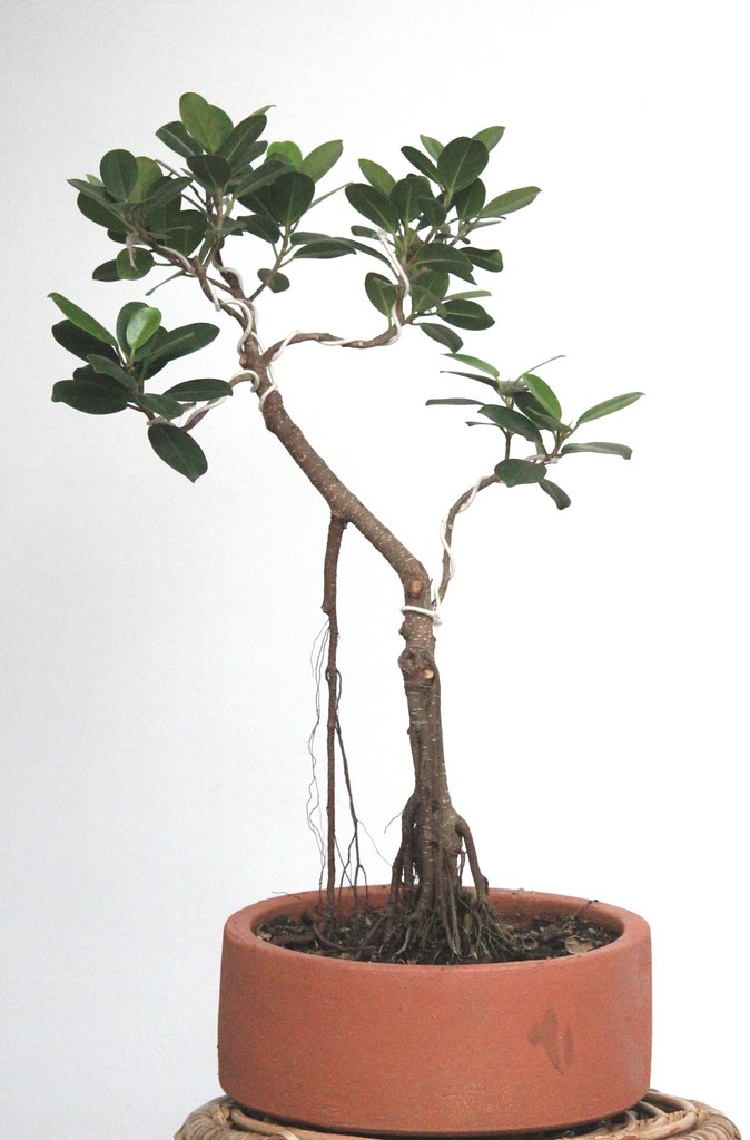 Ficus Long Island with areal roots ,4 years - With Prop roots