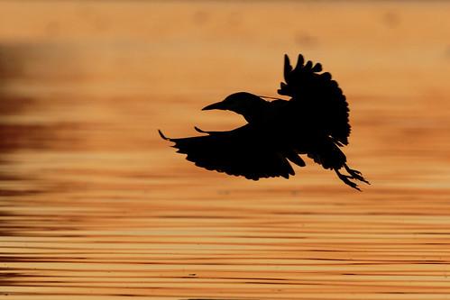 birdwatching bonellipark sandimas birds sunset california socal 2017 bonelliregionalpark blackcrownednightheron silhouette