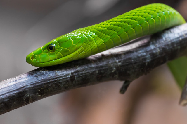 Eastern green mamba  160317-4030