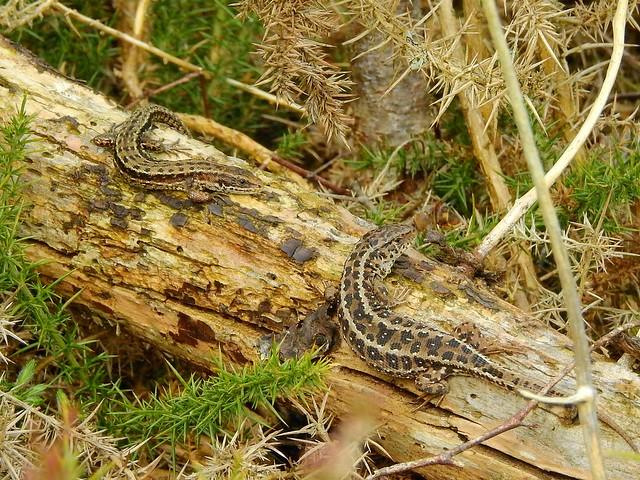 Sand Lizard (Lacerta agilis) & Common Lizard (Zootoca vivipara)