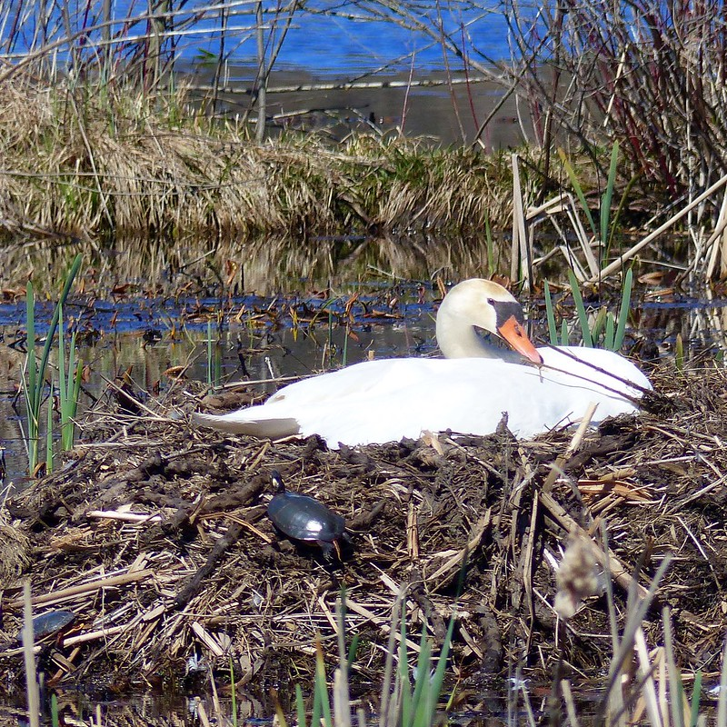 Nesting swan, curious turtle