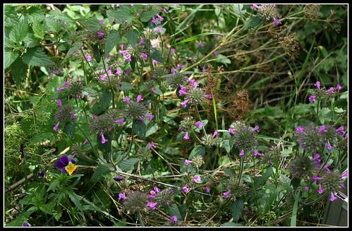Clinopodium vulgare - calament clinopode 34180511075_b909b585ea