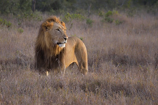 Male Lion at Sunrise, Ol Pejeta Conservancy, Kenya, East Africa | by diana_robinson