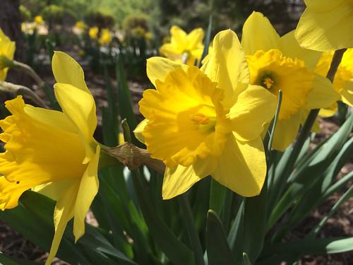 Daffodils   by christinejwarner