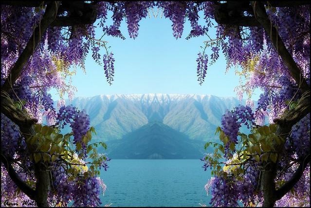 Wisteria at Lake Como, Italy (Explored)