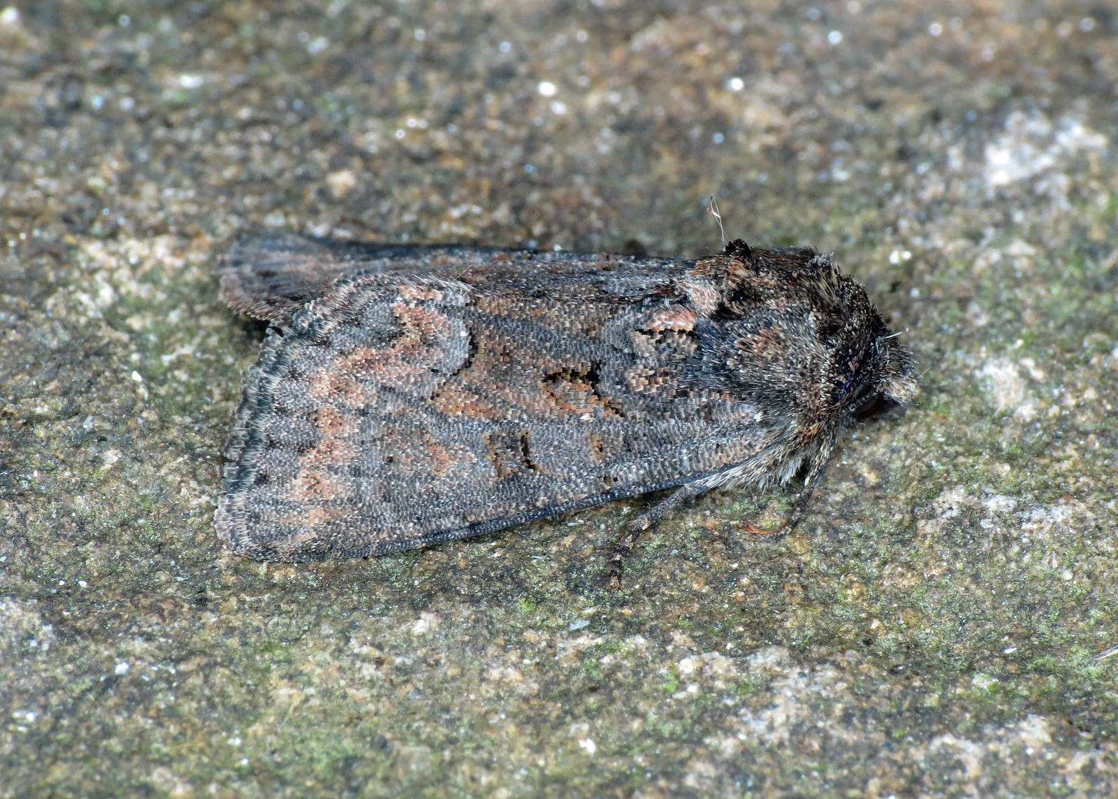 2337x Marbled Minor - Oligia strigilis agg.
