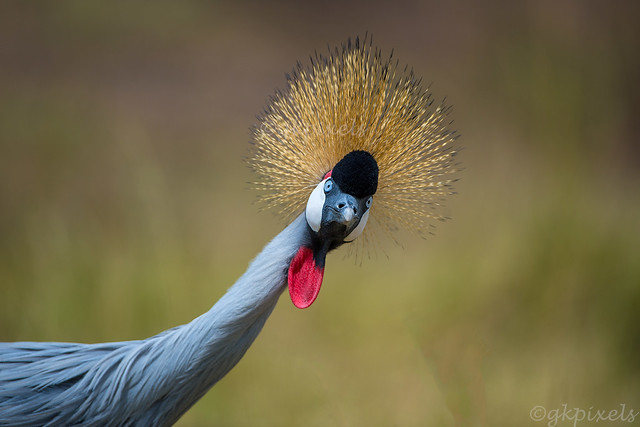 Grey-Crowned-Crane-curious_3022