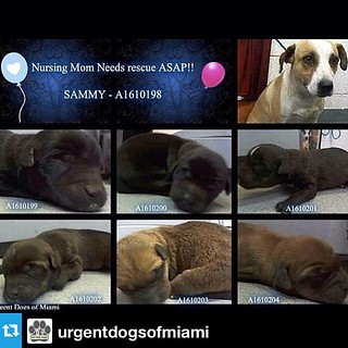 #Repost from @urgentdogsofmiami  ---  CODE RED Sammy and her babies need a foster ASAP. The shelter is a terrible environment for nursing moms & babies because the babies are likely to get sick & die in their cage. They are not only in danger of getting s