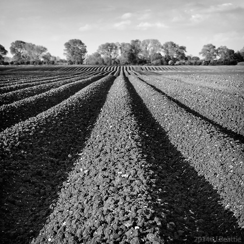 blackandwhite bw field countryside potatoes flickr ridge tatties squareformat cambridgeshire ploughed furrow cycleroute11 whitefen