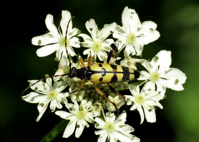 Black and Yellow Longhorn Beetle - Rutpela maculata