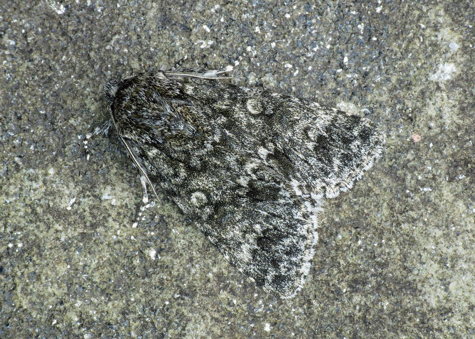 2278 Poplar Grey - Acronicta megacephala