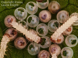 Unknown lepidopteran caterpillars and eggs | by laurie.knight