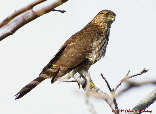 Juvenile Cooper's Hawk | by Ethan.Winning
