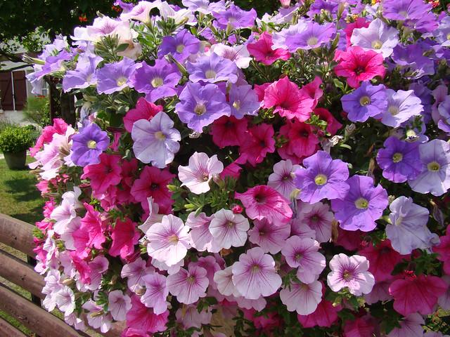 Potee de Petunias varies - LIT ET MIXE-Landes.