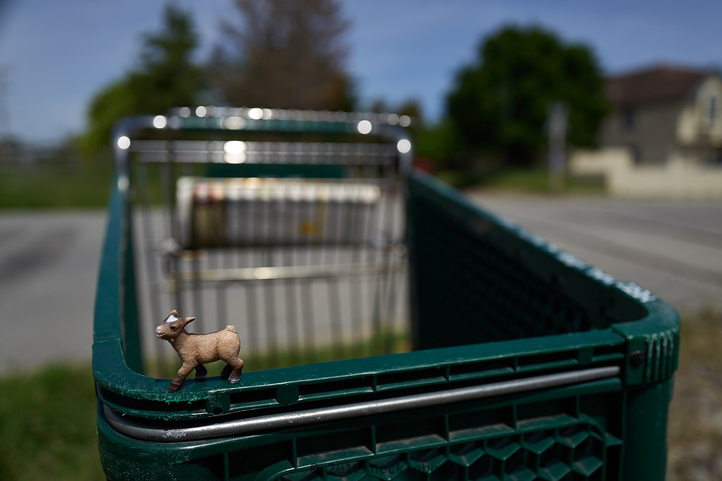 baby goat surfs a stray shopping cart