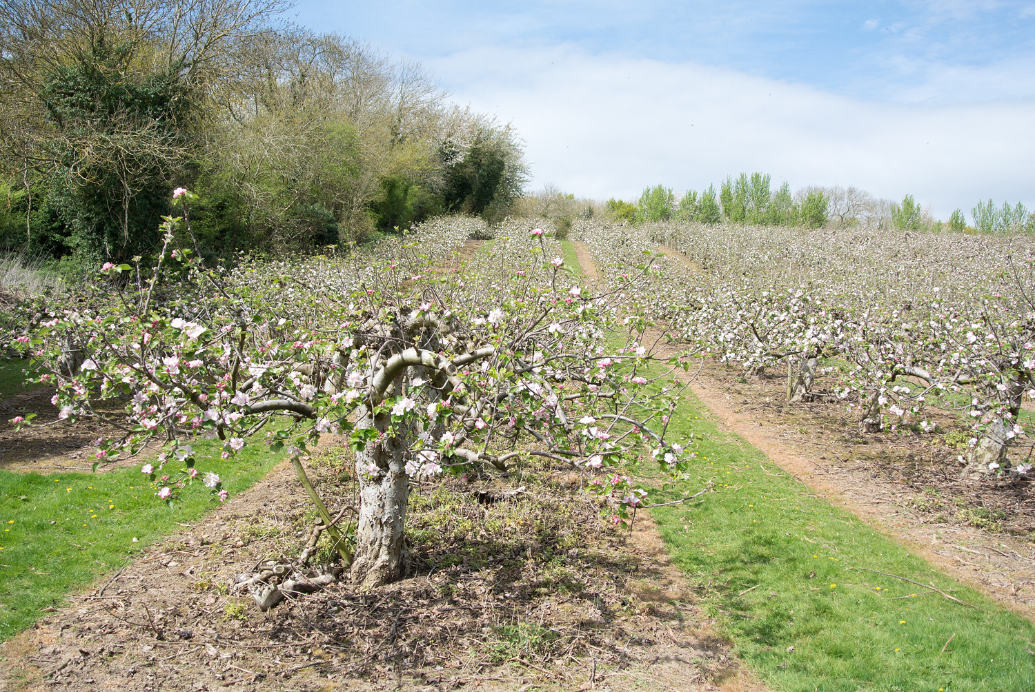 Orchard Chilham to Canterbury