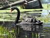 Black Swan by Free_aza_Bird