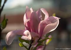 Magnolia in morning light