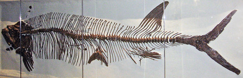 Xiphactinus audax (fossil fish) (Niobrara Formation, Upper ...