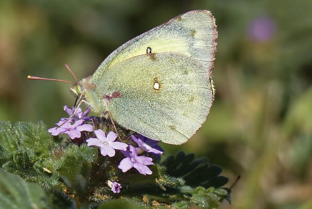Butterfly on wild flowers 5