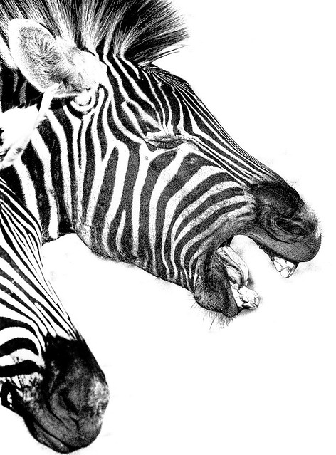 Braying Zebra silhuet BW
