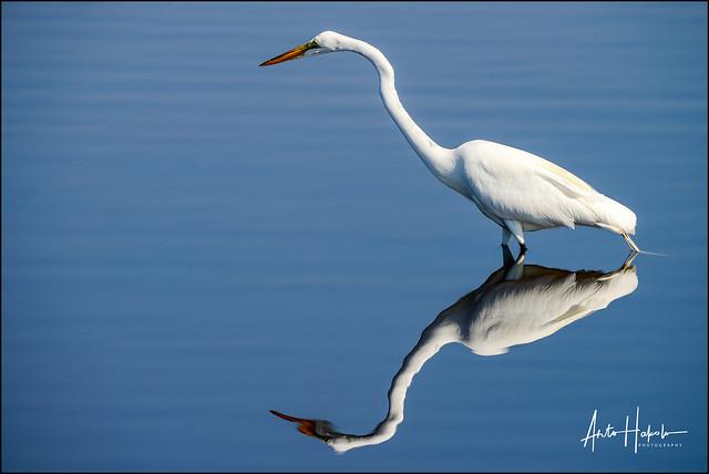 great egret, merritt-island