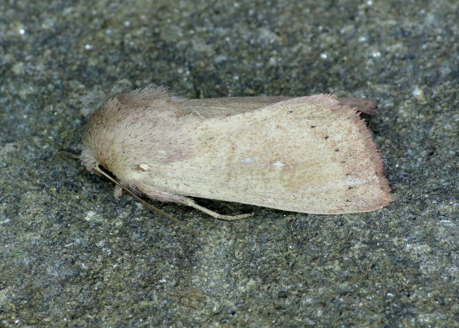 2193 The Clay - Mythimna ferrago