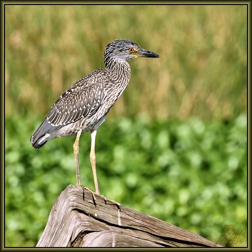 heron nature texas wildlife sony bayou stump pasadena canoeing paddling juvenile a77 yellowcrownednightheron armandbayou avianexcellence sonya77 wanam3