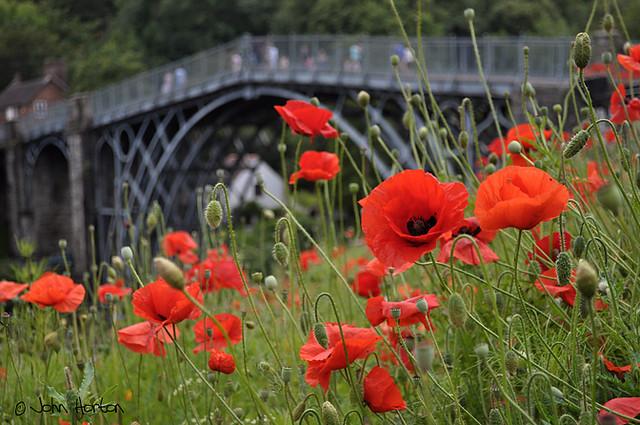 Poppies at Ironbridge