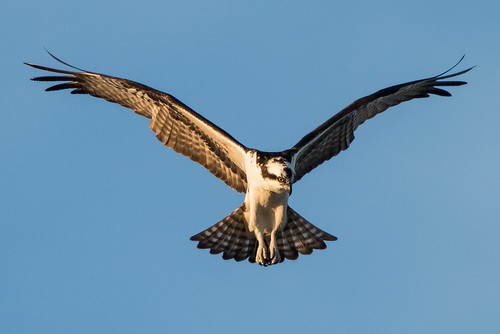 Osprey | by stephaniepluscht