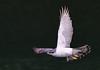 A  northern goshawk in flight (1) by takashi muramatsu