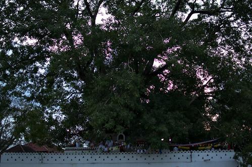 nikond7000 alberi temple trees sunset tramonto travel buddhism srylanka