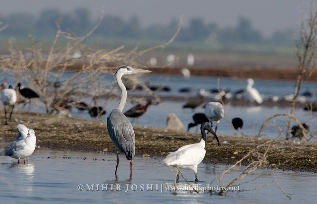 Grey Heron &  Black-headed ibis [Garza Real e Ibis Oriental]