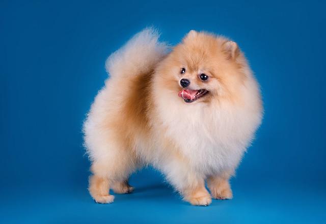 Pomeranian-Spitz