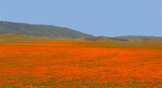 """California Poppies (Eschscholzia californica)   by Gregory """"Slobirdr"""" Smith"""