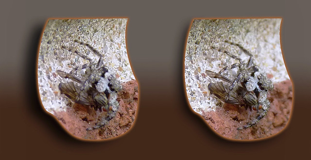 Another Tan Jumping Spider - Parallel 3D