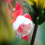 Fuchsia peeping between Gazania 'Gazoo'