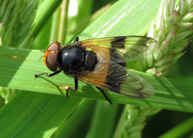 Hoverfly - Volucella pellucens
