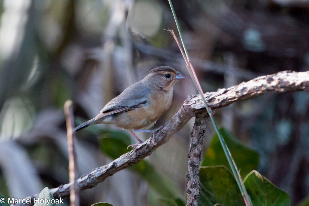 Coal-crested Finch (Charitospiza eucosma), Chapada dos Guimaraes, BR, 2014-04-09--106