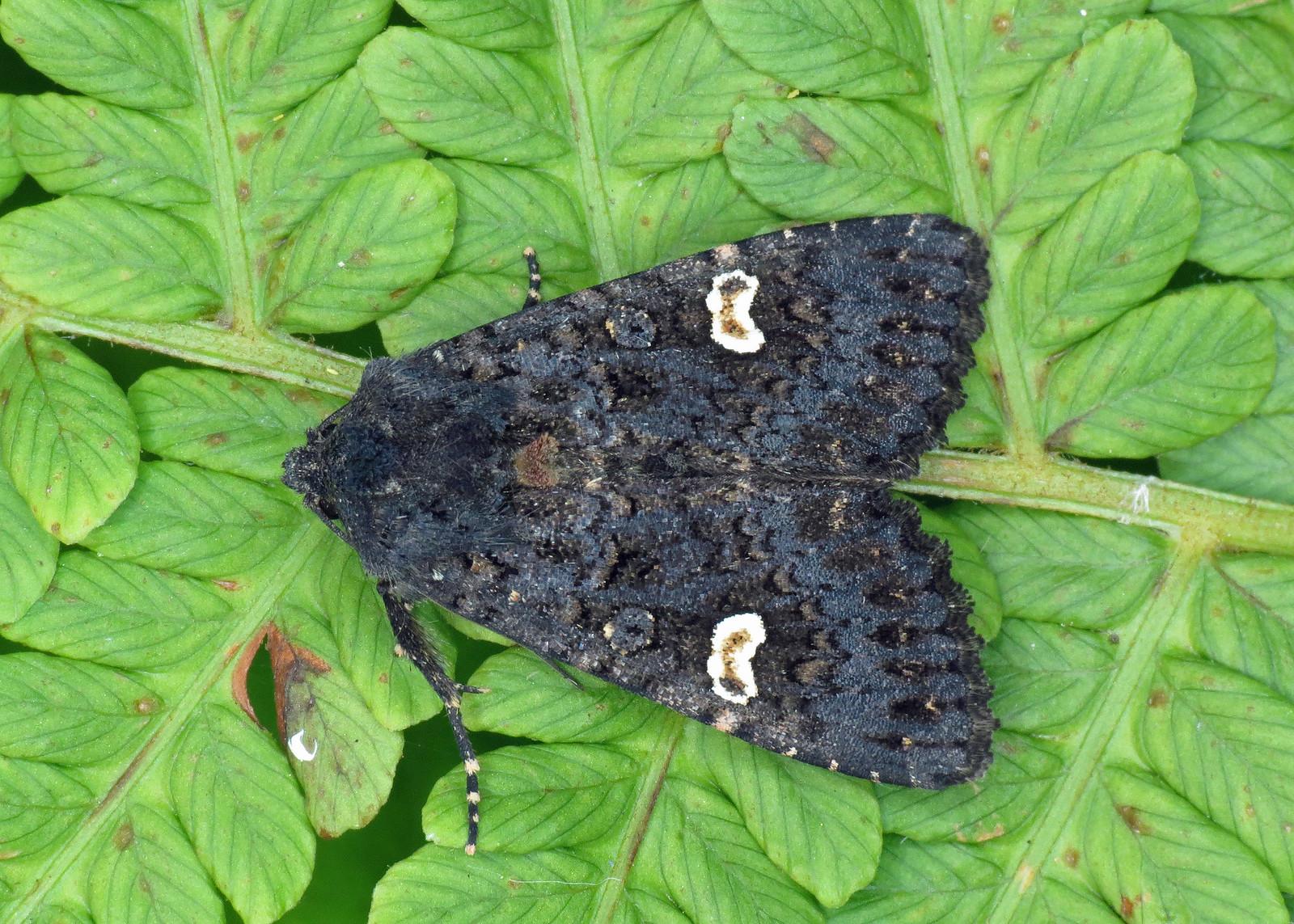 2155 Dot Moth - Melanchra persicariae